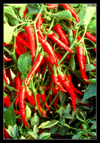Chili Pepper Growing Guide mahagro