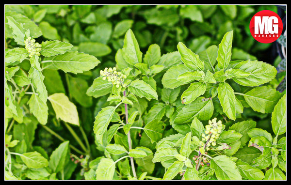 How to grow tulsi plant