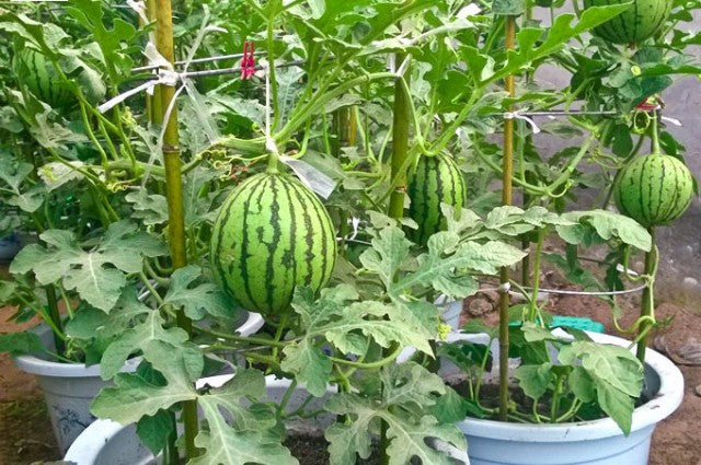 Growing Watermelon in Containers | How to Grow Watermelon in Pot Vertically