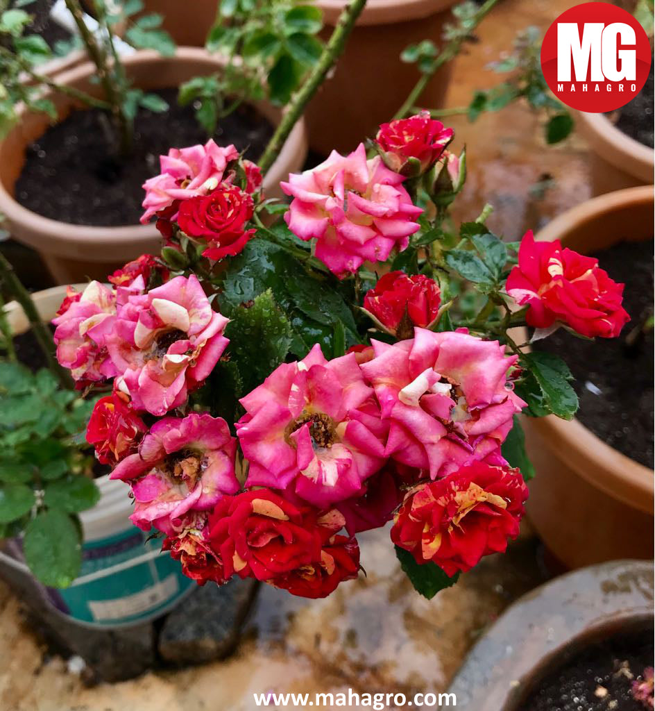 roses grown in mahagro potting mix