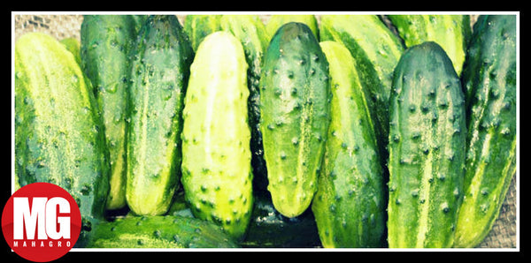 Choosing The Perfect Cucumber to Grow