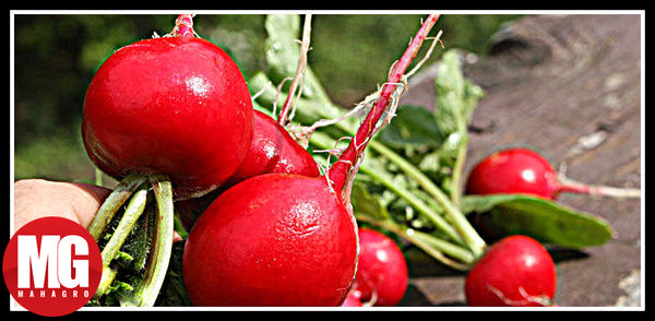 8 Truths About Growing Radishes