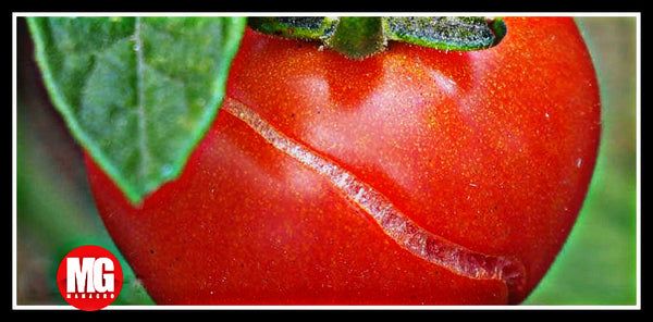 Troubleshooting Tomato Problems