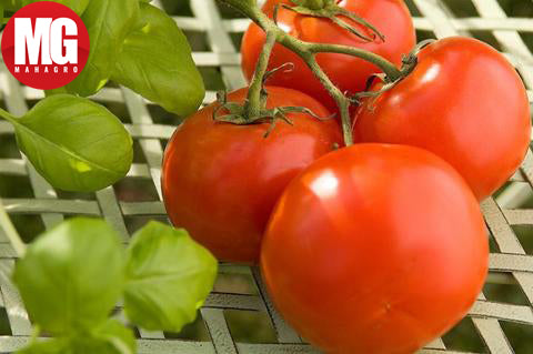 Terrace Gardening Tips Growing Tomatoes In 10 Easy Steps Mahagro