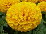 Marigold seeds- Pack of 4