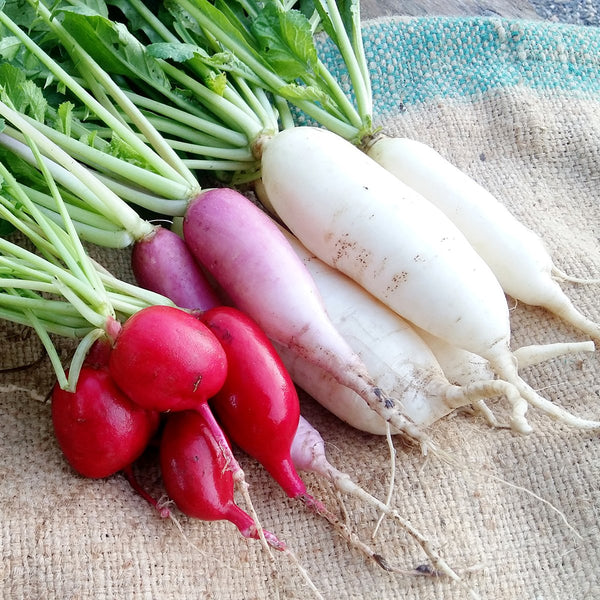 Radish Seeds- Pack of 4