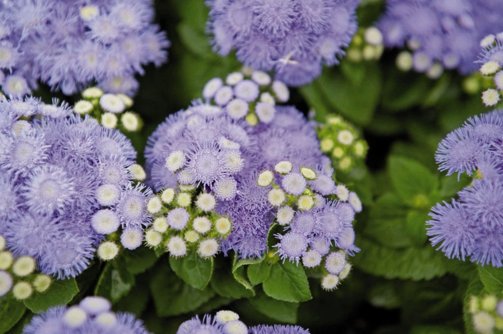 AGERATUM HAWAII BLUE 5.0 PT