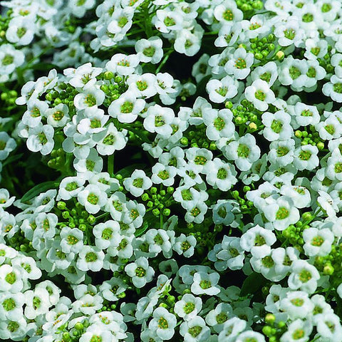 ALYSSUM CRYSTALS SNOW