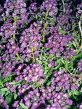 ALYSSUM WONDERLAND DEEP PURPLE