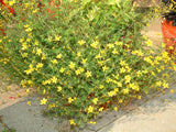 BIDENS INSPIRATION YELLOW GL