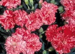 CARNATION MINI-SPICE PEPPERMINT