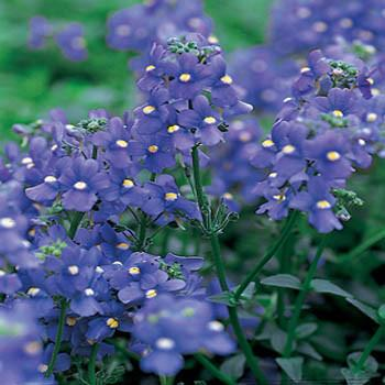 NEMESIA BLUE GEM SUPERIOR