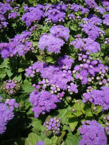 AGERATUM HIGH TIDE BLUE PT