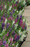 ANGELONIA SERENA MIX PT