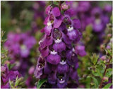 ANGELONIA SERENA PURPLE PT