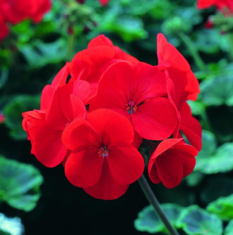 GERANIUM NEW WAVE RED GL CT