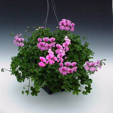 GERANIUM CASCADE BEAUTY