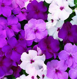 IMPATIENS ACCENT PREMIUM MYSTIC MIX