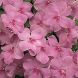 IMPATIENS ACCENT LAVENDER BLUE