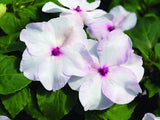 IMPATIENS ACCENT PREMIUM BRIGHT EYE