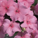 IMPATIENS ACCENT DEEP PINK