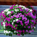 IMPATIENS ACCENT PREMIUM PASTEL MIX
