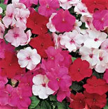 IMPATIENS ACCENT PREMIUM PEPPERMINT MIX
