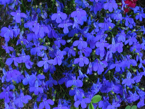 LOBELIA CRYSTAL PALACE MP