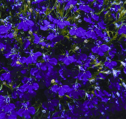 LOBELIA PALACE BLUE MP