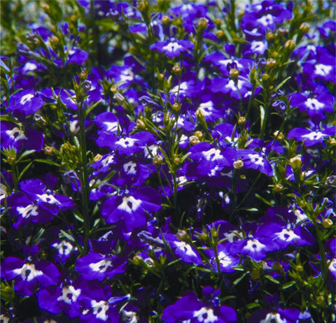 LOBELIA COAT OF ARMS BLUE & WHITE GL