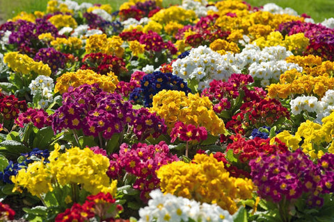PRIMULA CRESCENDO MIX