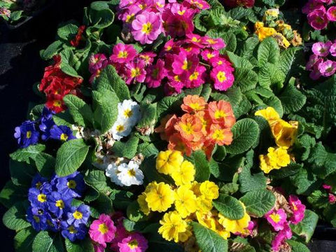 PRIMULA PAGEANT MIX