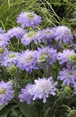 SCABIOSA BLUE DIAMONDS