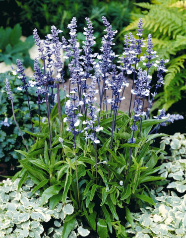SALVIA FAIRY QUEEN