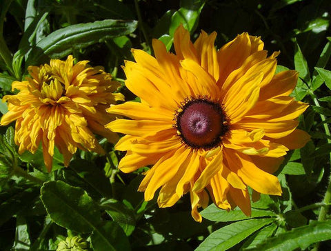 RUDBECKIA GOLDILOCKS