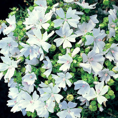 MALVA GARDEN LEADER WHITE MALLOW GL