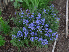 ANCHUSA BLUE ANGEL