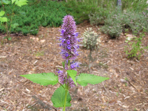 AGASTACHE LICORICE