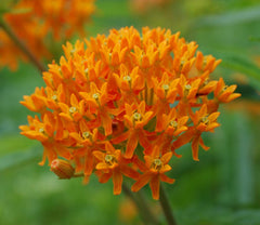 ASCLEPIAS BUTTERFLYWEED