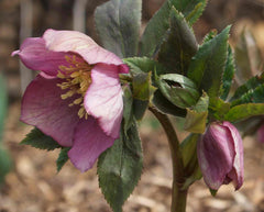 HELLEBORUS CHRISTMAS ROSE