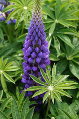 LUPINE POPSICLE