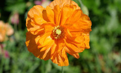 PAPAVER DOUBLE TANGERINE GEM