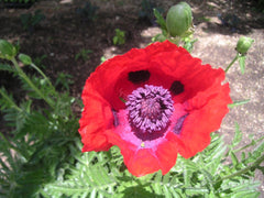 PAPAVER BRILLIANT RED
