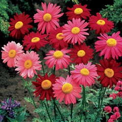 PYRETHRUM ROBINSONS MIX