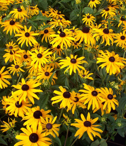 RUDBECKIA GOLDSTRUM RS