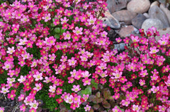 SAXIFRAGA PURPLE ROBE