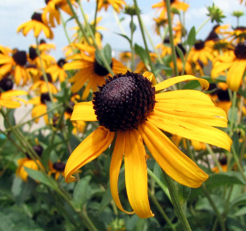 RUDBECKIA BLACK-EYE SUSAN OR