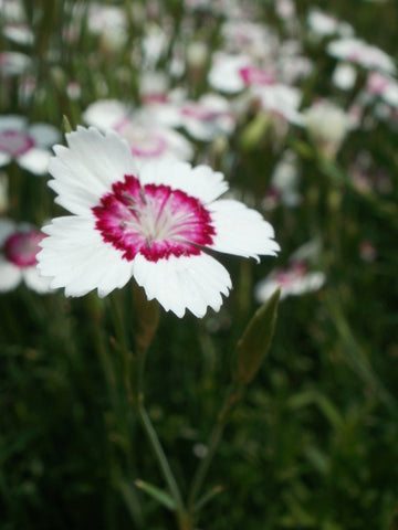 DIANTHUS ALBRIGHT RED PICOTEE GL