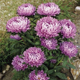 ASTER MILADY LILAC