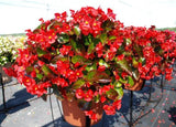 BEGONIA BIG GREEN RED PT